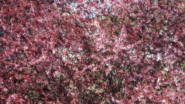vidéos et rushes de cherry tree blooming and loosing petals - frolow