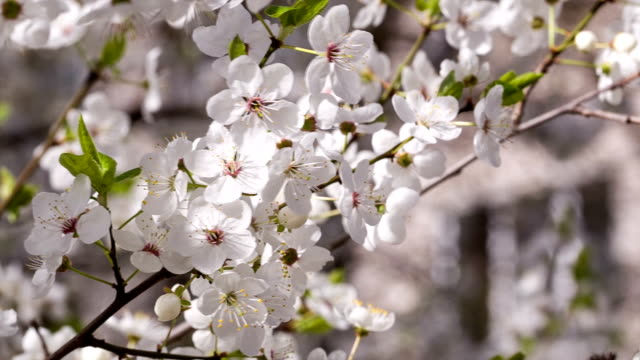 cherry tree blooms in early may. - may stock videos & royalty-free footage