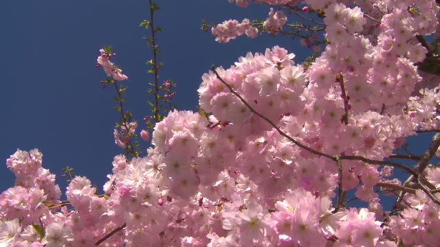 cherry tree blossom + bees