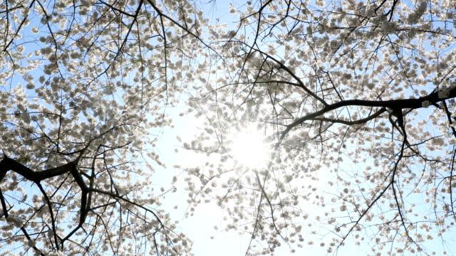 Cherry Tree Blossom in Sunlight