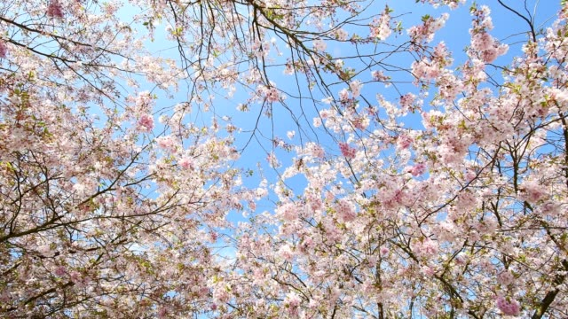 cherry tree blossoms with blue sky in spring, bavaria, germany - cherry tree stock videos & royalty-free footage