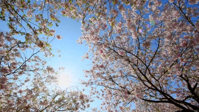 Cherry tree blossoms with blue sky in spring, Bavaria, Germany