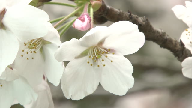 a cherry tree branch holds a pink bud as well as white blossoms. - ståndare bildbanksvideor och videomaterial från bakom kulisserna
