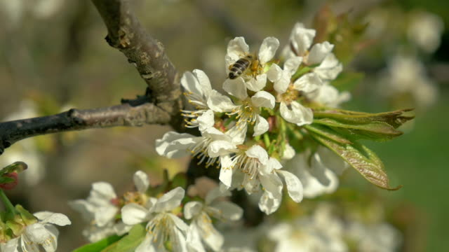 Cherry tree branch with working honey bee 1