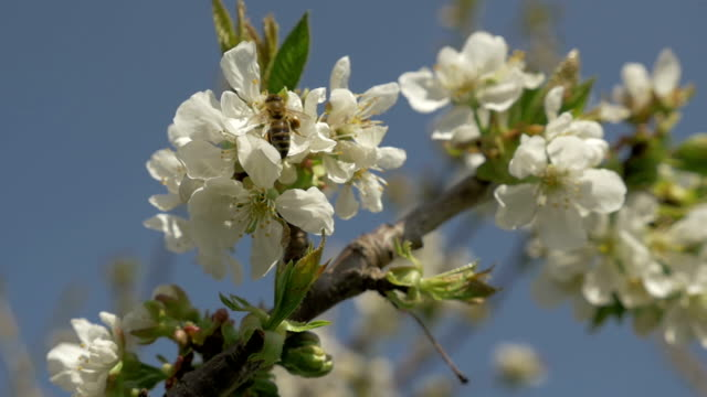 Cherry tree branch with working honey bee 3