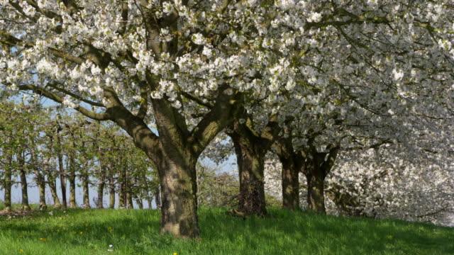Cherry tree branches in blossom, full frame. Baden-Württemberg, Germany.