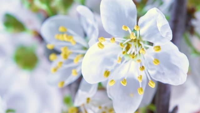 vídeos de stock e filmes b-roll de cherry tree flowers blooming hd - prunus taihaku