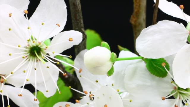 チェリーツリーの花満開 hd - 太白桜点の映像素材/bロール