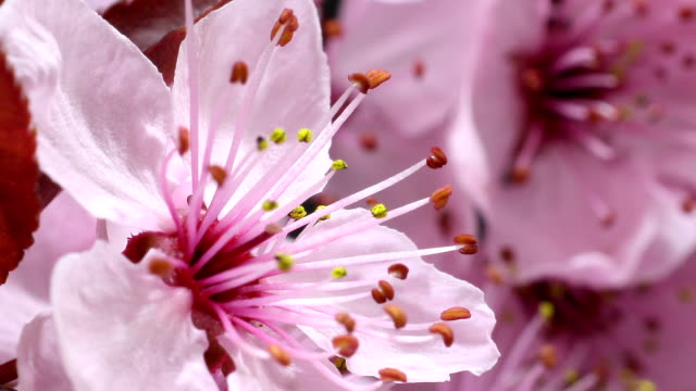 cherry tree flowers blooming hd - great white cherry stock videos & royalty-free footage