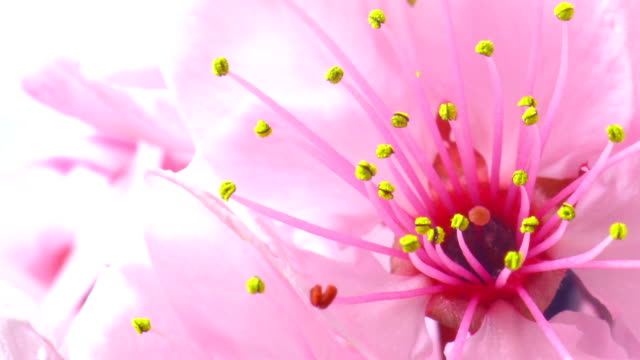 cherry tree flowers blooming hd - magnification stock videos & royalty-free footage