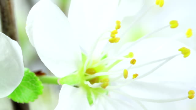 vídeos de stock e filmes b-roll de árvore de cereja flores desabrochando em hd - prunus taihaku