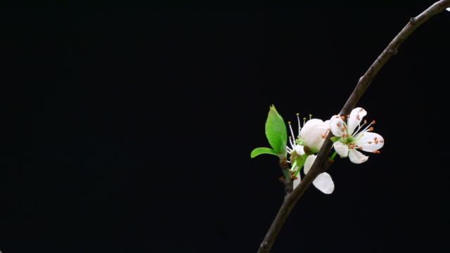 花満開の桜の木の枝 hd - 太白桜点の映像素材/bロール