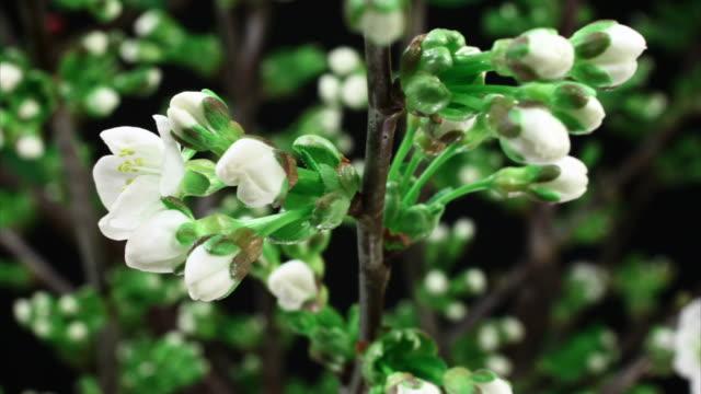 vídeos de stock e filmes b-roll de árvore de cereja flores cacho desabrochando hd - prunus taihaku