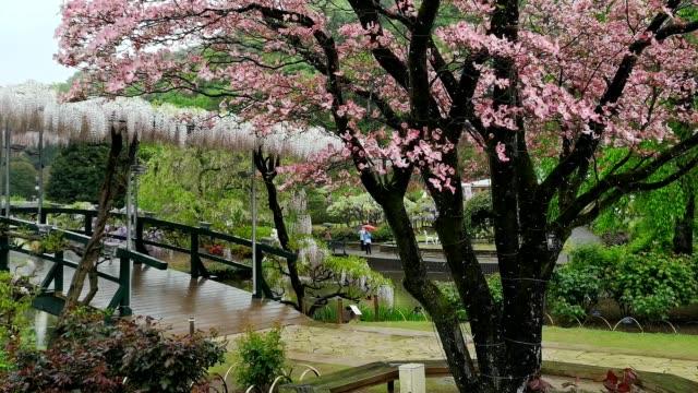 vidéos et rushes de cherry tree flowers in shikaga, tochigi prefecture, japan - séquoia géant