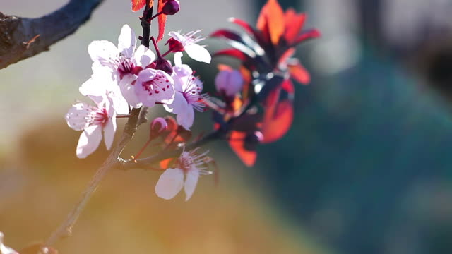 cherry tree flowers in the wind - great white cherry stock videos & royalty-free footage