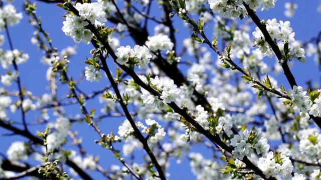 cherry tree flowers - kvist bildbanksvideor och videomaterial från bakom kulisserna
