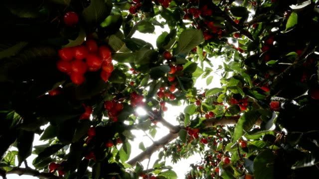 kirschbaum voller kirschen - saison stock-videos und b-roll-filmmaterial