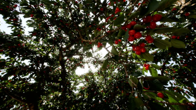 cherry tree full of cherries - saison stock videos & royalty-free footage