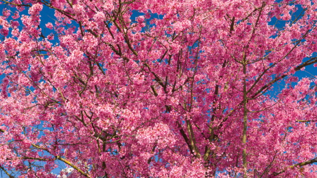 cherry tree in bloom, announcing it is springtime - great white cherry stock videos & royalty-free footage
