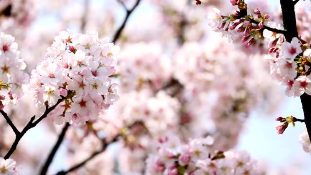 kirsche baum in voller blüte  - insel taiwan stock-videos und b-roll-filmmaterial