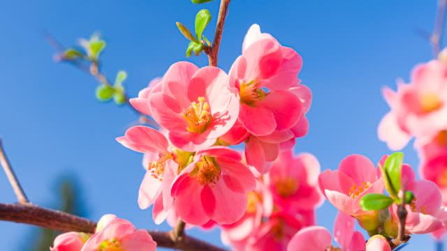 cherry tree in full blossom - germoglio video stock e b–roll