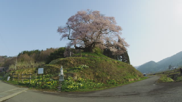 cherry tree in hocchi in gunma prefecture, japan - guanyin bodhisattva stock videos & royalty-free footage