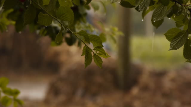 cherry tree in the rain - deciduous stock videos & royalty-free footage