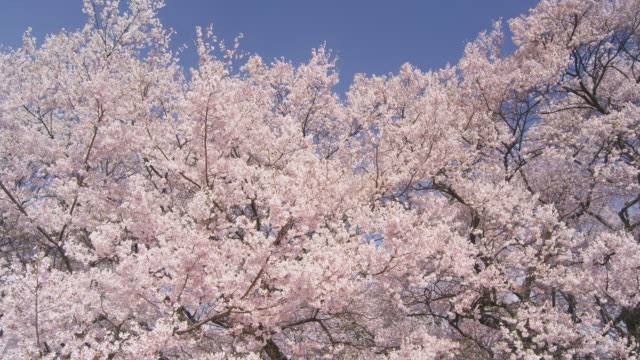 cherry tree swinging with breeze - cherry blossom stock videos & royalty-free footage
