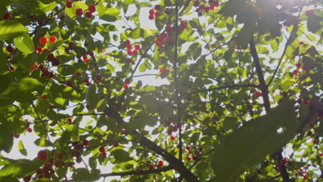 DS Cherry tree