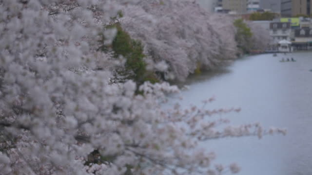 cherry trees alongside moat, tokyo - moat stock videos and b-roll footage