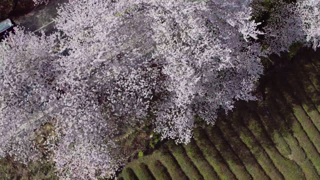 cherry trees and car moving on road / gurye-gun, jeollanam-do, south korea - general motors stock videos & royalty-free footage