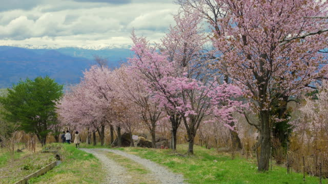 ws slo mo cherry trees and dirt road, west zao, yamagata, yamagata prefecture, japan - cherry blossom stock videos & royalty-free footage