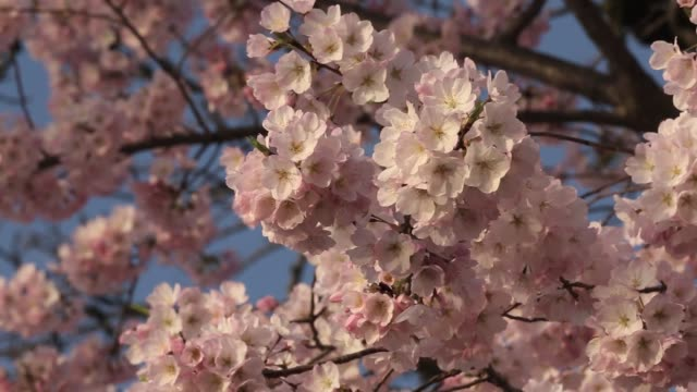 cherry trees are in full bloom at tidal basin in washington, dc. april 9, 2013. dc's cherry blossoms come to late bloom on april 09, 2013 in... - blossom stock videos & royalty-free footage
