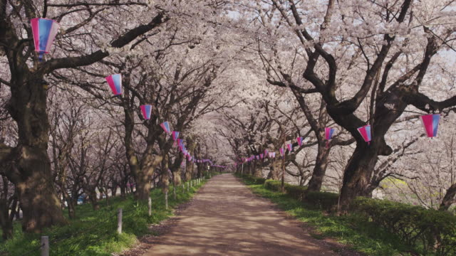 cherry trees at river bank in japan - zona pedonale strada transitabile video stock e b–roll