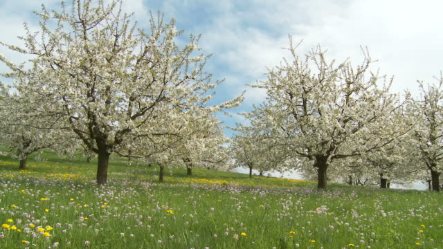 vídeos de stock, filmes e b-roll de cherry trees blooming, spring - pomar
