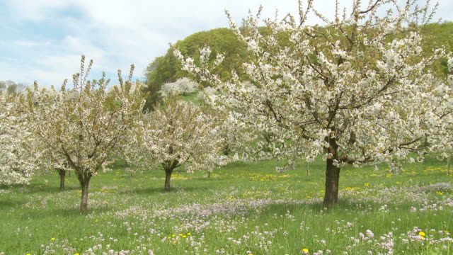 cherry trees blooming, spring - orchard stock videos & royalty-free footage