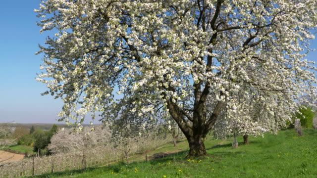 cherry trees blossom, springtime. ortenau, baden-württemberg, germany. - baden wurttemberg stock videos and b-roll footage
