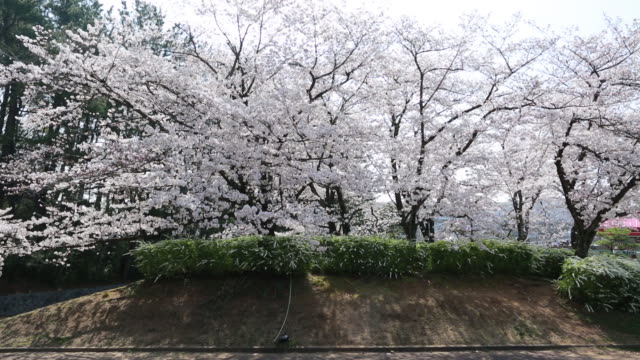 Cherry trees in bloom along the Okawa River in Osaka Japan on Wednesday March 28 2018