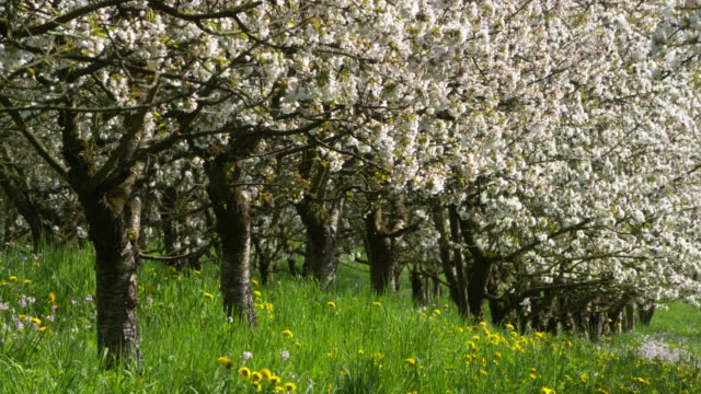 Cherry trees in blossom in cherry tree orchard, springtime. Sissach, Canton Basel-Landschaft, Switzerland.
