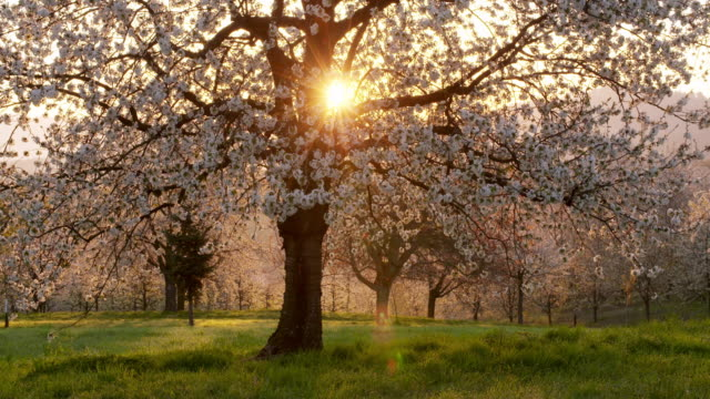 Cherry trees in blossom in cherry tree orchard with sun at backlight, springtime. Ortenau, Baden-Württemberg, Germany.