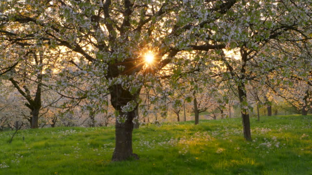 cherry trees in blossom in cherry tree orchard with sun at backlight, springtime. ortenau, baden-württemberg, germany. - 40 seconds or greater stock videos & royalty-free footage
