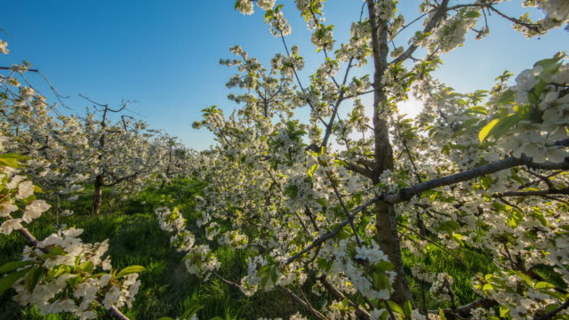 t/l cherry trees in sunrise - orchard stock videos & royalty-free footage