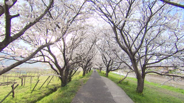 cherry trees in ukiha city filmed with stedicam - von bäumen gesäumt stock-videos und b-roll-filmmaterial