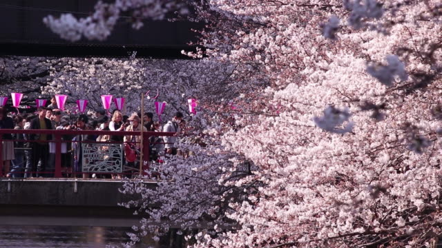 cherry trees stand in blossom at the meguro river in nakameguro district of tokyo. japan, on sunday, march 25, 2018 - cherry blossom stock videos & royalty-free footage