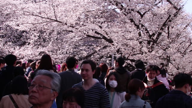 vídeos de stock, filmes e b-roll de cherry trees stand in blossom at the meguro river in nakameguro district of tokyo japan on sunday march 25 2018 - árvore de folha caduca
