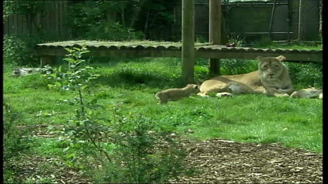 New baby lion cubs ITN ENGLAND London Chessington Zoo EXT Music from 'The Lion King' played over following shots CMS Young lion cub climbing on log...