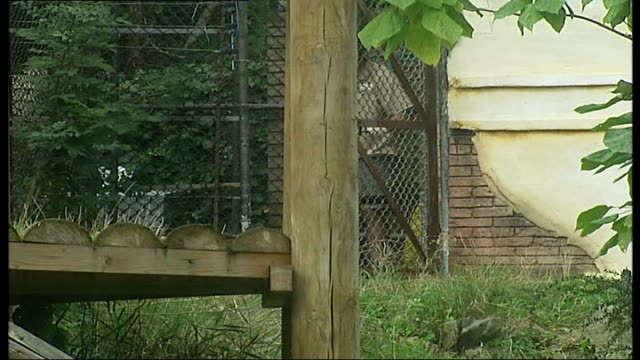 chessington zoo to supply tiger faeces for scaring cats and foxes from gardens: faeces collected; mackie into enclosure and returning with bucket and... - enclosure stock videos & royalty-free footage