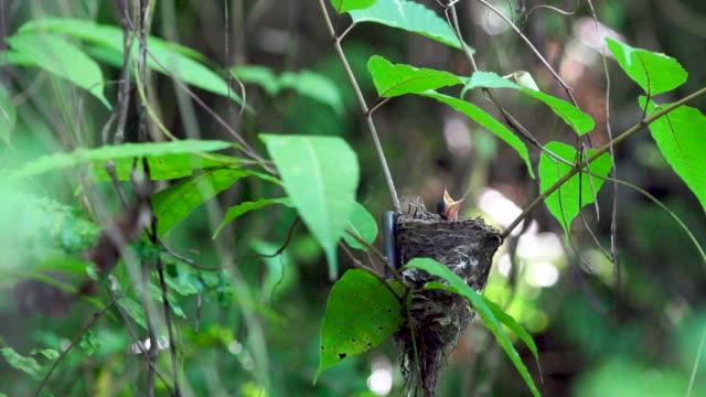 Chestnut baby bird rears up from nest, high speed