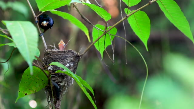 Chestnut bird arrives at nest to feed young, real time