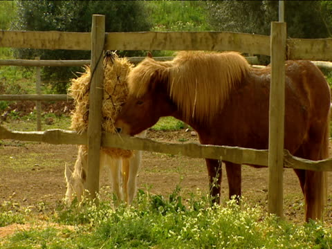 Chestnut brown pony with blond mane eats hay on farm